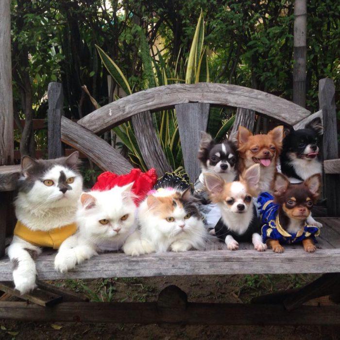 gatto-protegge-cuccioli-chihuahua-yuta-family-richie-22