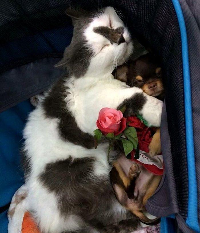 gatto-protegge-cuccioli-chihuahua-yuta-family-richie-3