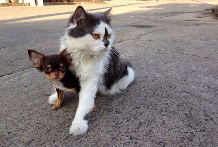 gatto-protegge-cuccioli-chihuahua-yuta-family-richie-5