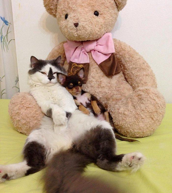 gatto-protegge-cuccioli-chihuahua-yuta-family-richie-6