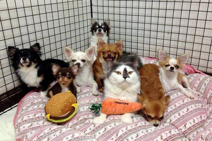 gatto-protegge-cuccioli-chihuahua-yuta-family-richie-8