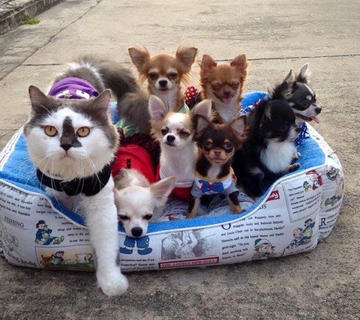 gatto-protegge-cuccioli-chihuahua-yuta-family-richie-9