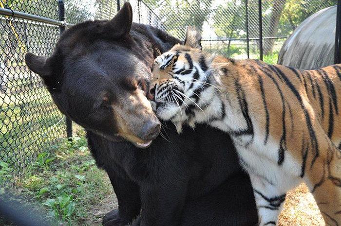 leone-tigre-orso-amicizia-insolita-animali-zoo-georgia-01
