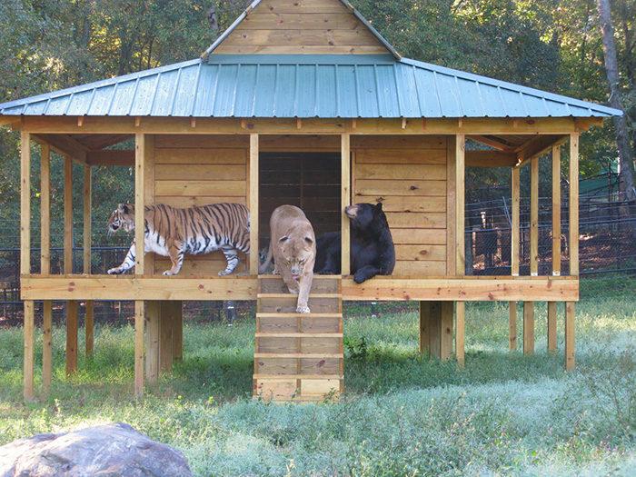 leone-tigre-orso-amicizia-insolita-animali-zoo-georgia-02
