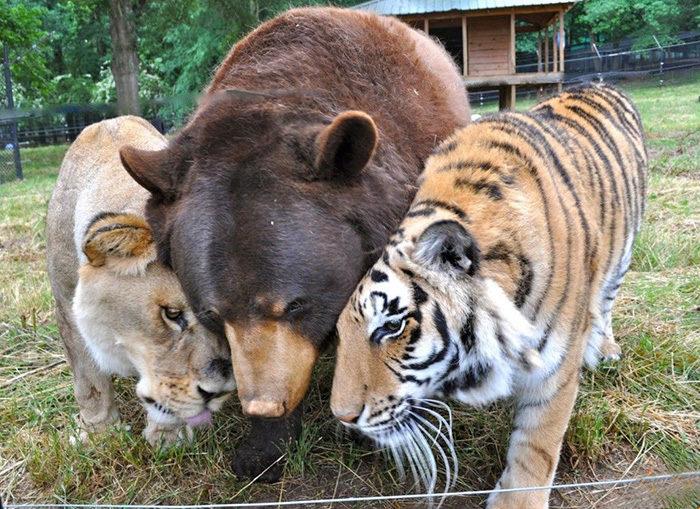 leone-tigre-orso-amicizia-insolita-animali-zoo-georgia-04