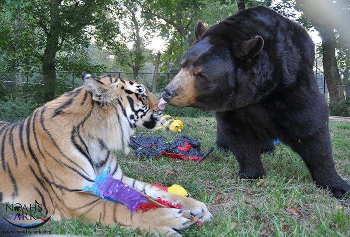 leone-tigre-orso-amicizia-insolita-animali-zoo-georgia-05