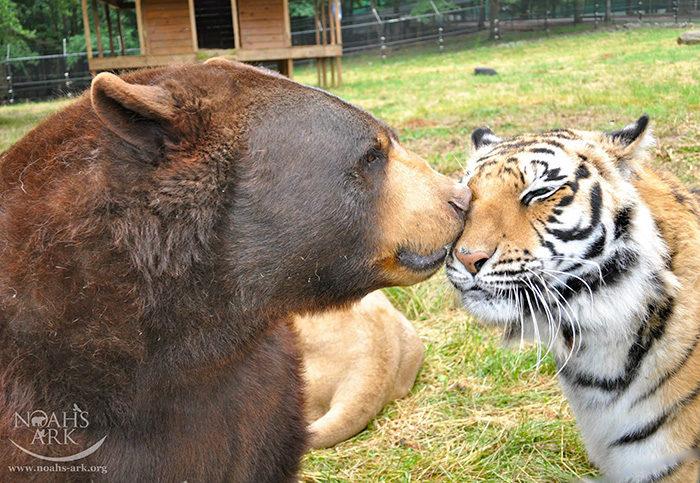 leone-tigre-orso-amicizia-insolita-animali-zoo-georgia-07