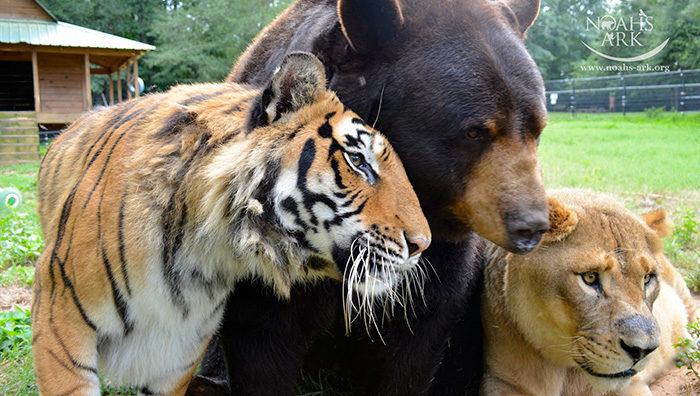 leone-tigre-orso-amicizia-insolita-animali-zoo-georgia-08