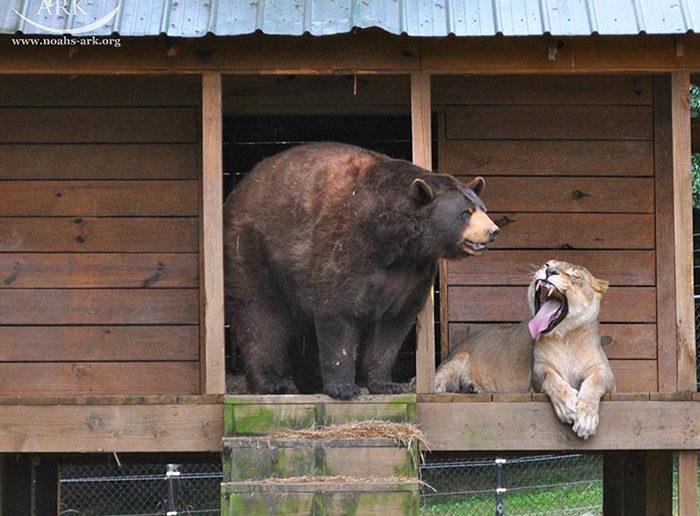 leone-tigre-orso-amicizia-insolita-animali-zoo-georgia-09