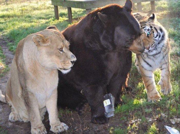 leone-tigre-orso-amicizia-insolita-animali-zoo-georgia-10