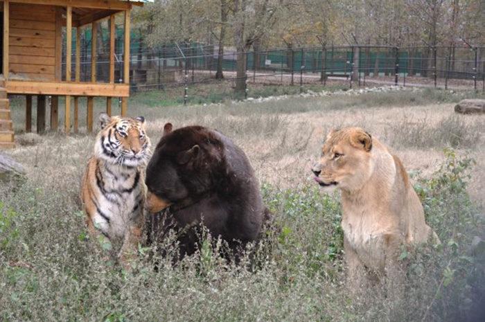 leone-tigre-orso-amicizia-insolita-animali-zoo-georgia-12