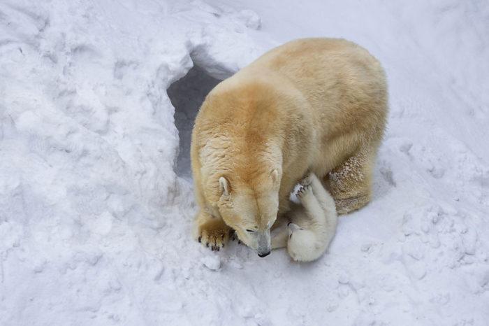 mamma-orso-gioca-con-cucciolo-neve-prima-volta-1