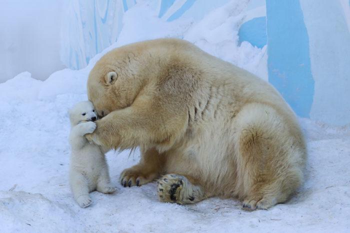 mamma-orso-gioca-con-cucciolo-neve-prima-volta-3