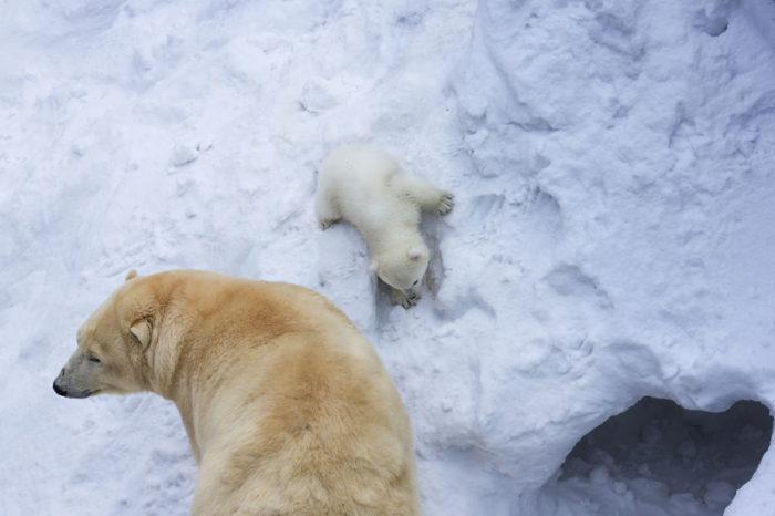 mamma-orso-gioca-con-cucciolo-neve-prima-volta-4
