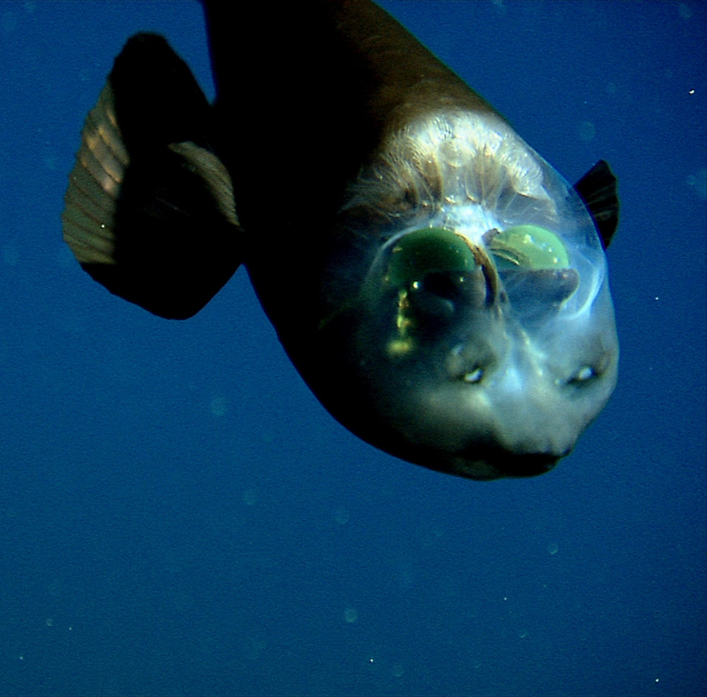 pesce-testa-trasparente-macropinna-microstoma-1