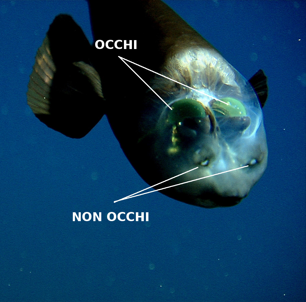 pesce-testa-trasparente-macropinna-microstoma-2