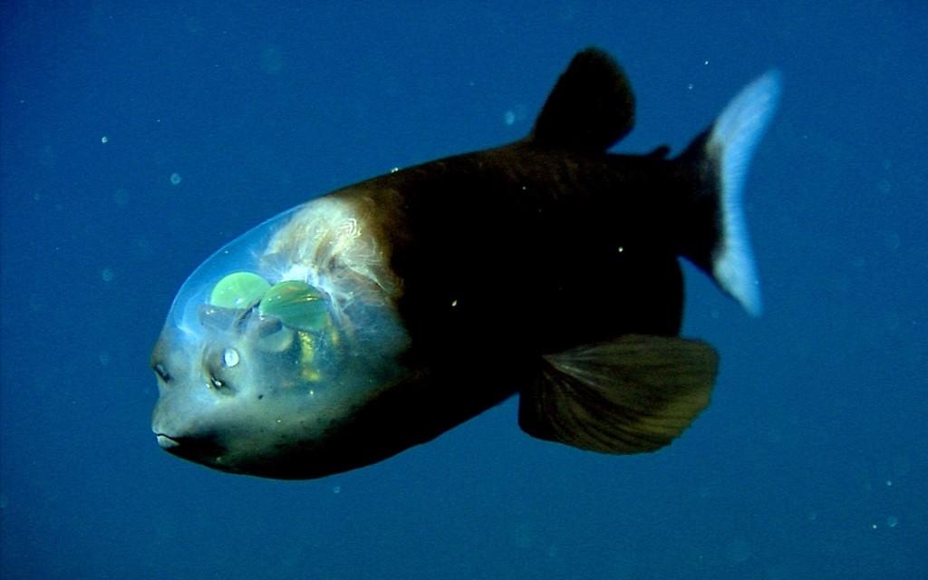 pesce-testa-trasparente-macropinna-microstoma-3