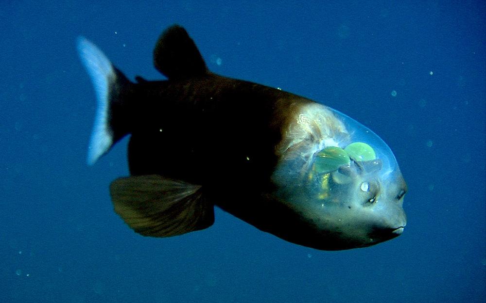 pesce-testa-trasparente-macropinna-microstoma-4