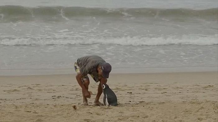 uomo-salva-pinguino-ritorna-nuota-8000-km-2