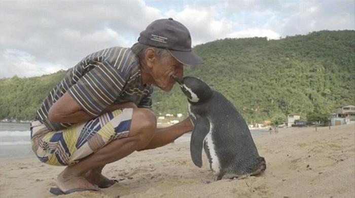 uomo-salva-pinguino-ritorna-nuota-8000-km-3