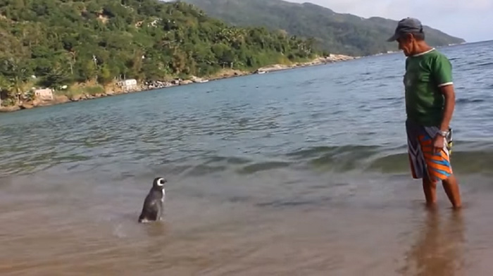uomo-salva-pinguino-ritorna-nuota-8000-km-5