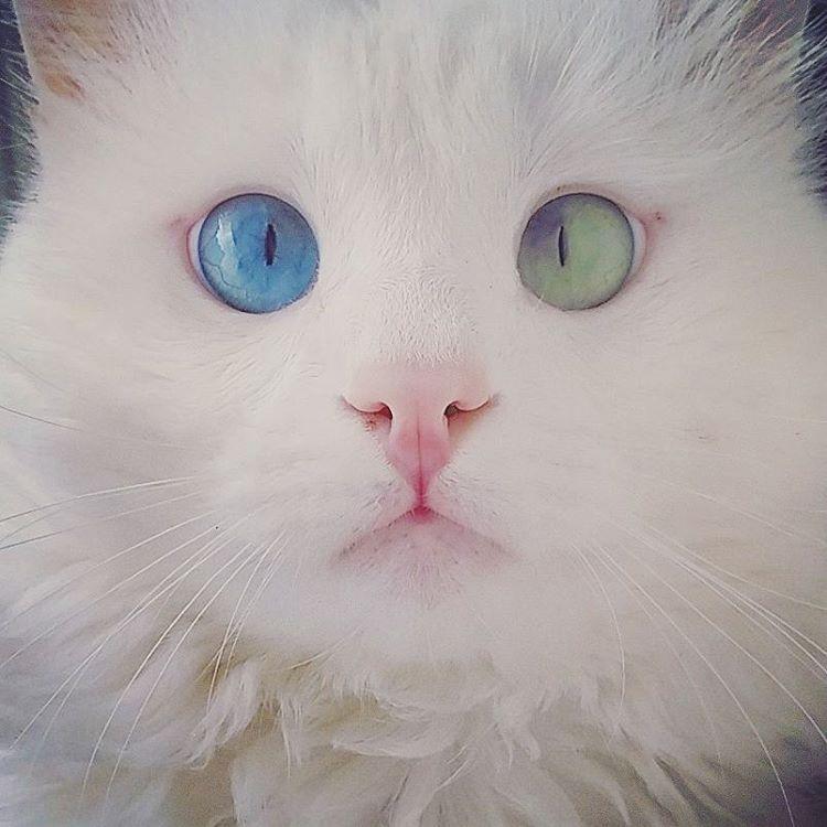 eterocromia-gatto-bianco-occhi-diversi-alos-2