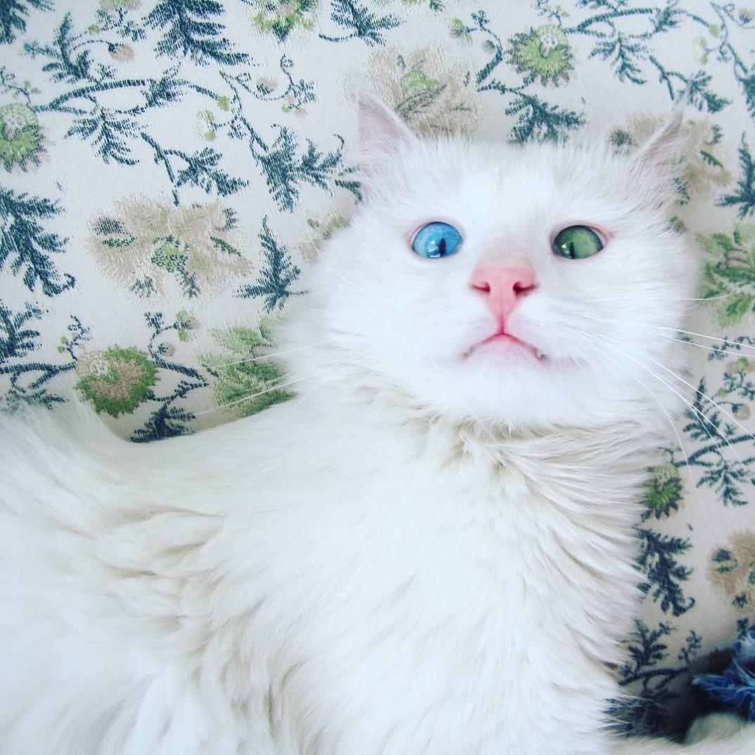 L 39 ipnotico sguardo di questo gatto dagli occhi di due - Occhi colori diversi ...