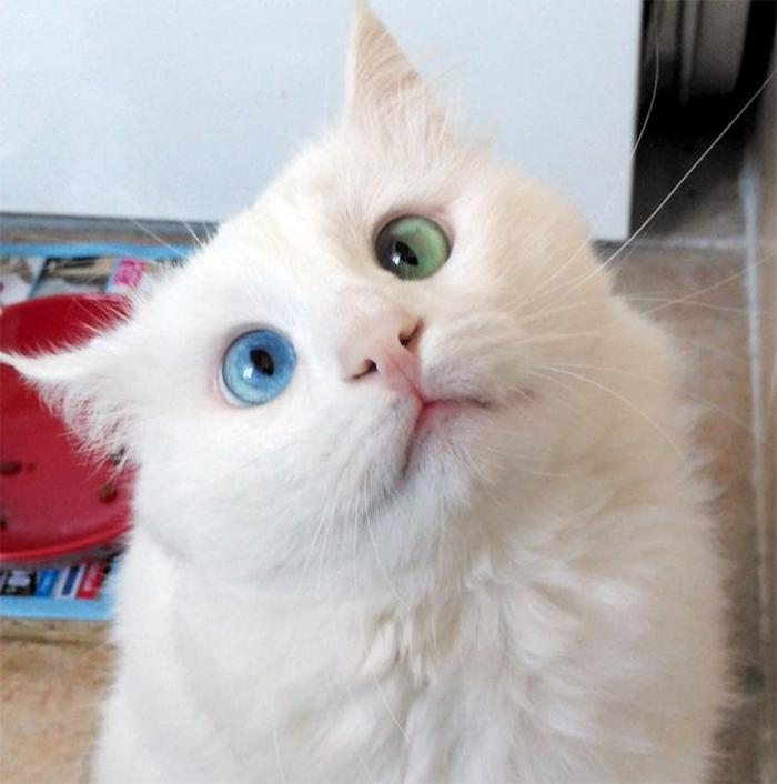 L 39 ipnotico sguardo di questo gatto dagli occhi di due - Husky con occhi diversi ...