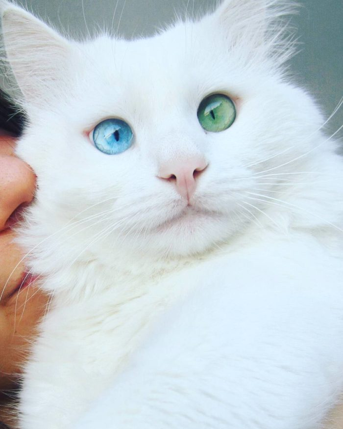 eterocromia-gatto-bianco-occhi-diversi-alos-6