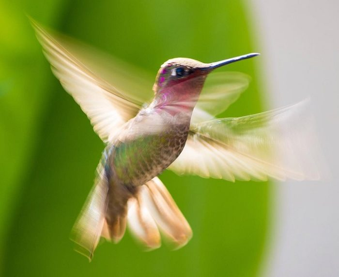fotografia-colibri-tracy-johnson-11