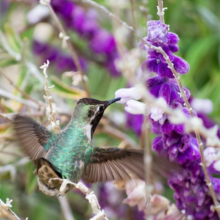 fotografia-colibri-tracy-johnson-12