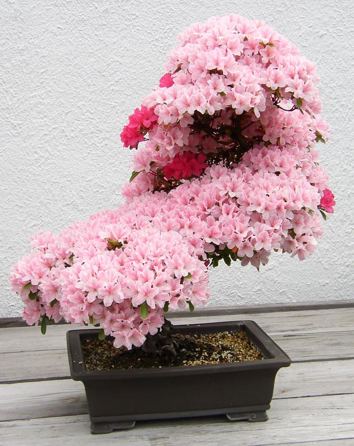 immagini-incantevoli-bonsai-01