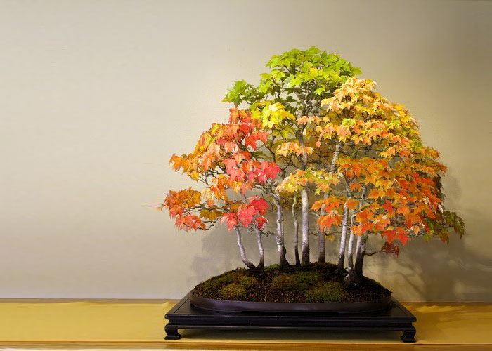 immagini-incantevoli-bonsai-04
