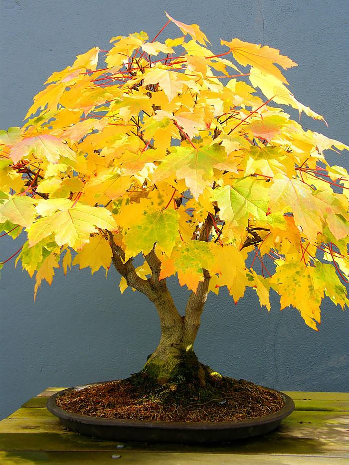 immagini-incantevoli-bonsai-11