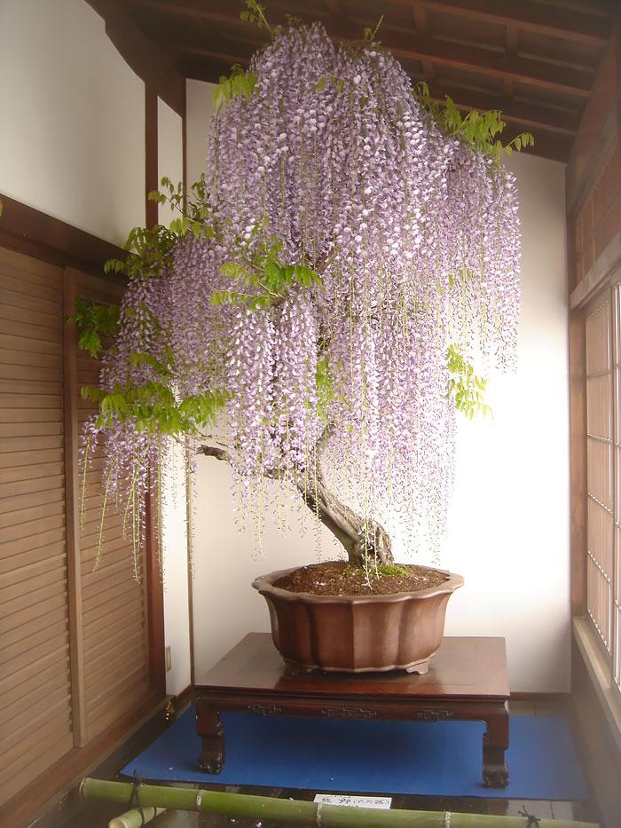 immagini-incantevoli-bonsai-13