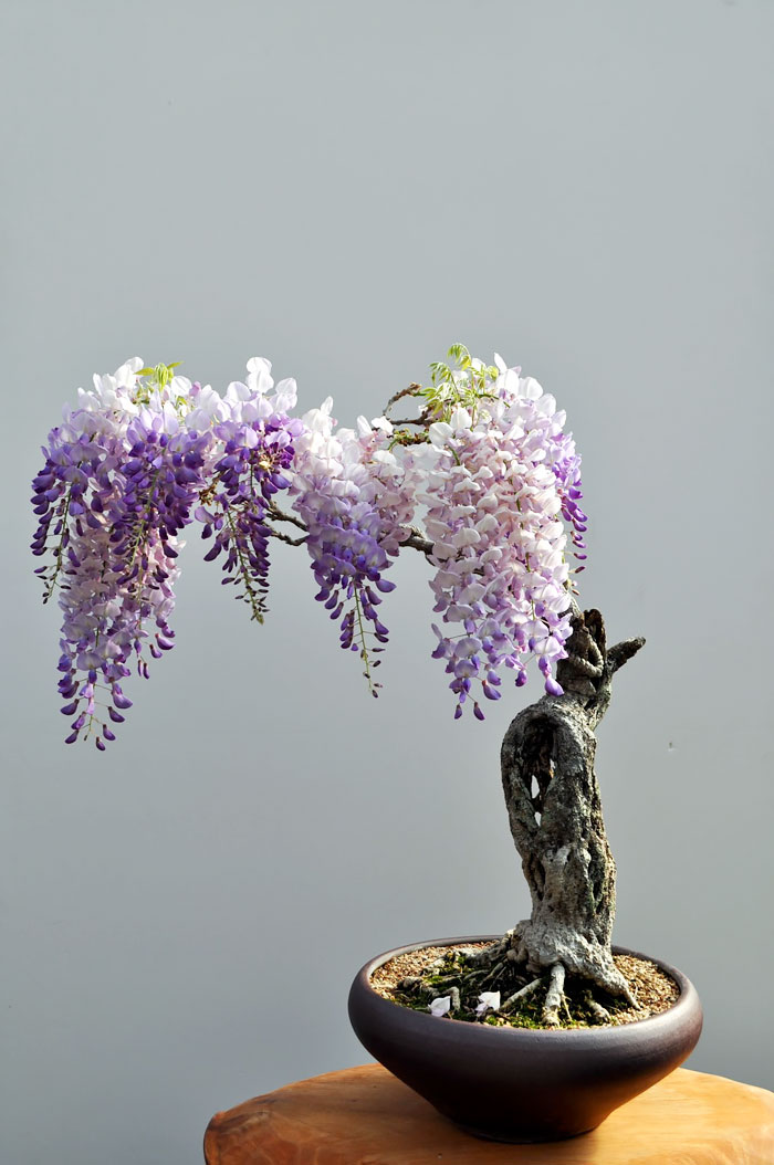 immagini-incantevoli-bonsai-14