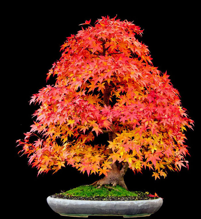 immagini-incantevoli-bonsai-16