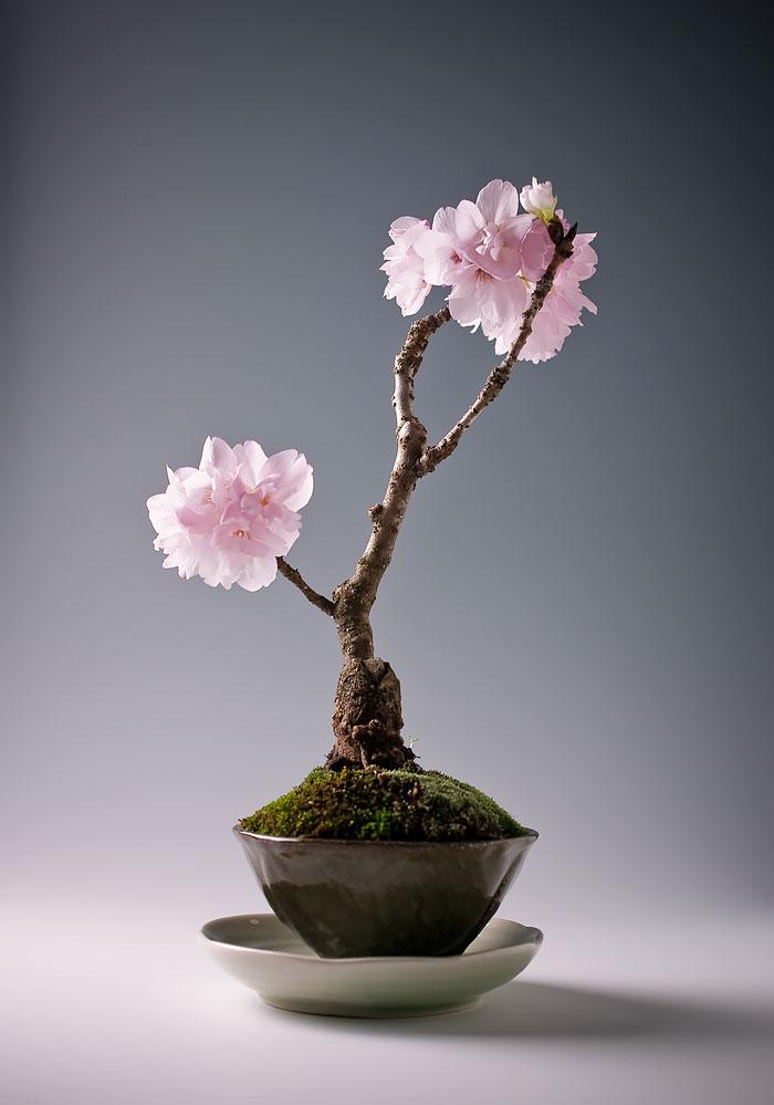 immagini-incantevoli-bonsai-18