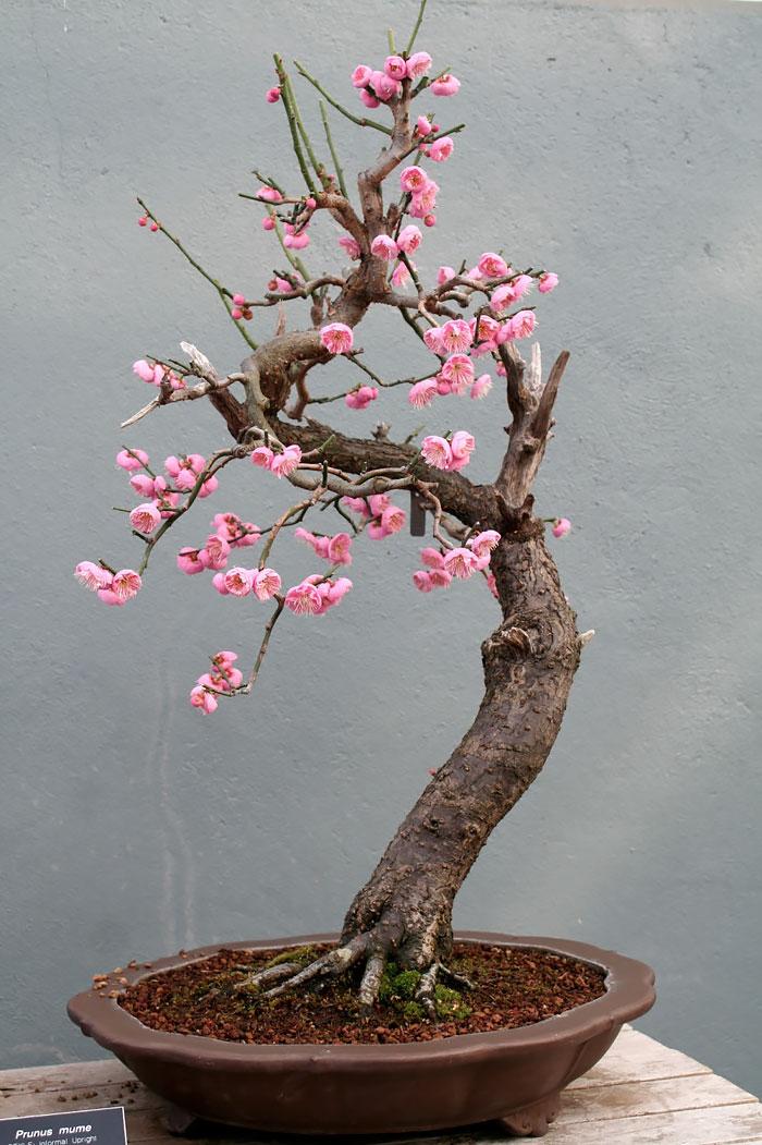 immagini-incantevoli-bonsai-19