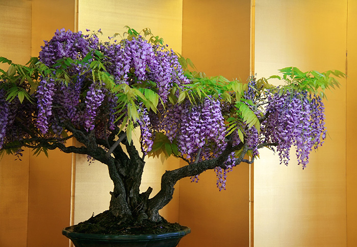 immagini-incantevoli-bonsai-21
