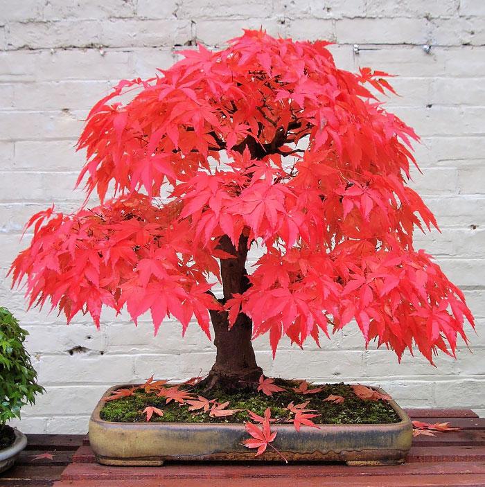 immagini-incantevoli-bonsai-28