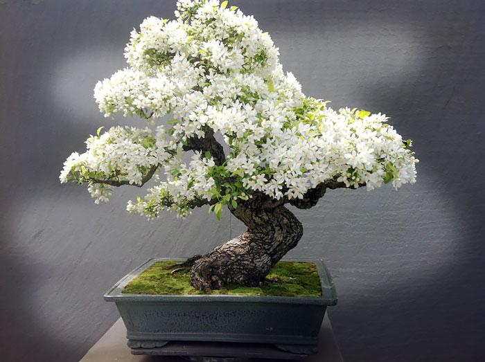 immagini-incantevoli-bonsai-29