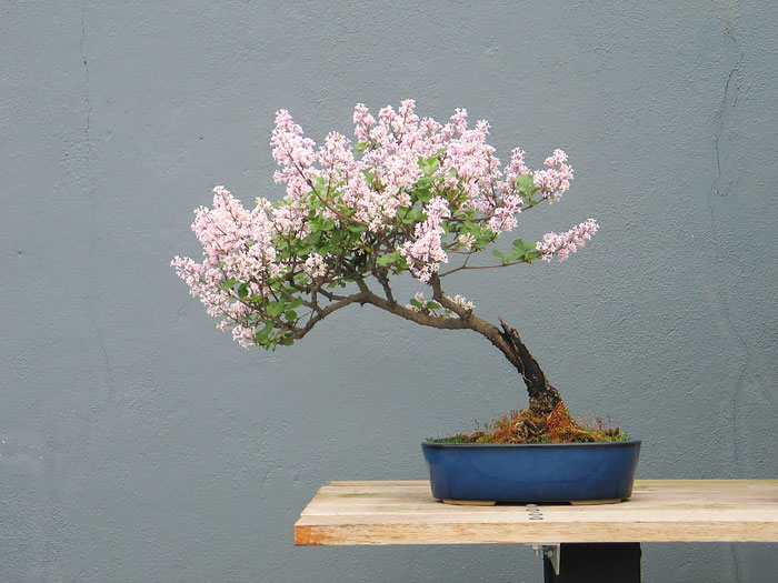 immagini-incantevoli-bonsai-34