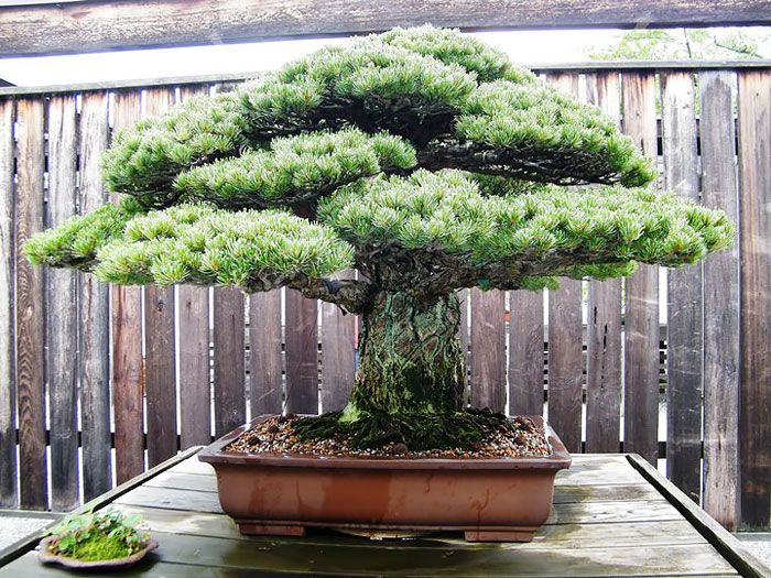 immagini-incantevoli-bonsai-36