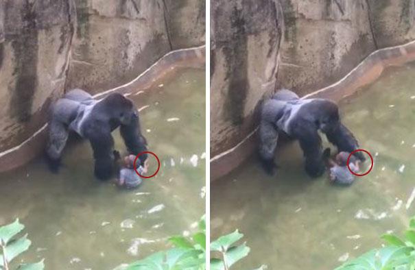 gorilla-ucciso-harambe-zoo-cincinnati-1