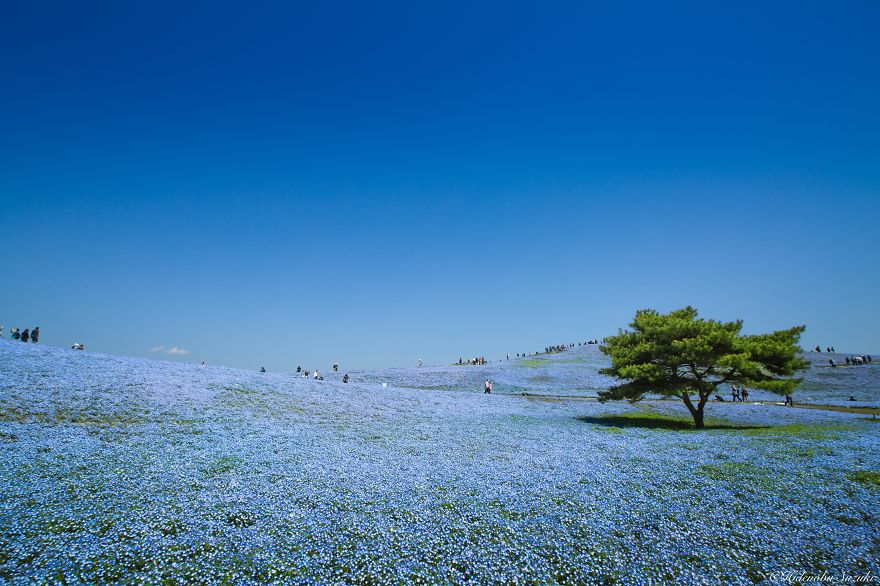 nemophila-blu-hitachi-seaside-park-giappone-shibazakura-hidenobu-suzuki-1
