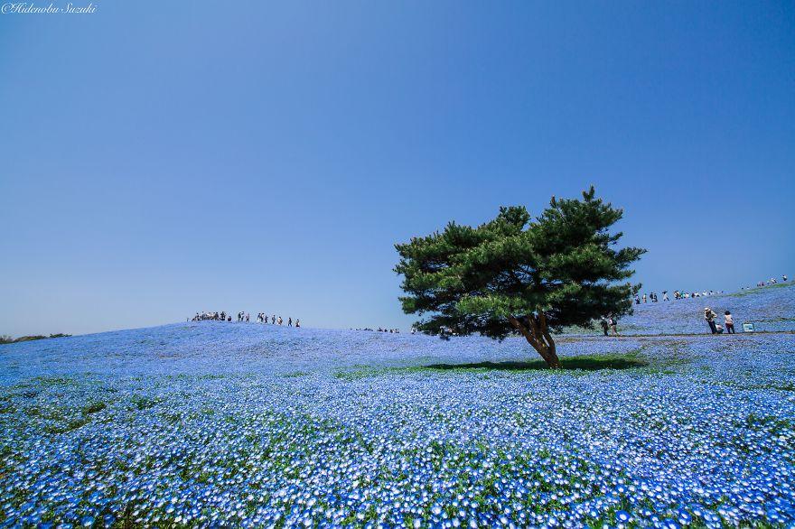 nemophila-blu-hitachi-seaside-park-giappone-shibazakura-hidenobu-suzuki-2