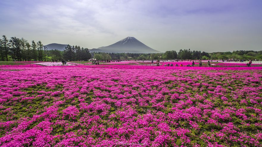 nemophila-blu-hitachi-seaside-park-giappone-shibazakura-hidenobu-suzuki-4