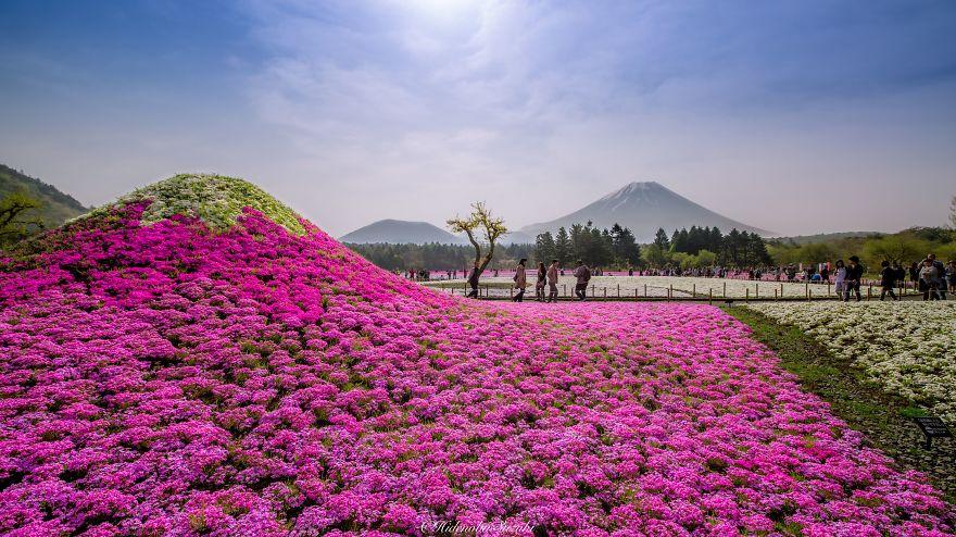 nemophila-blu-hitachi-seaside-park-giappone-shibazakura-hidenobu-suzuki-5