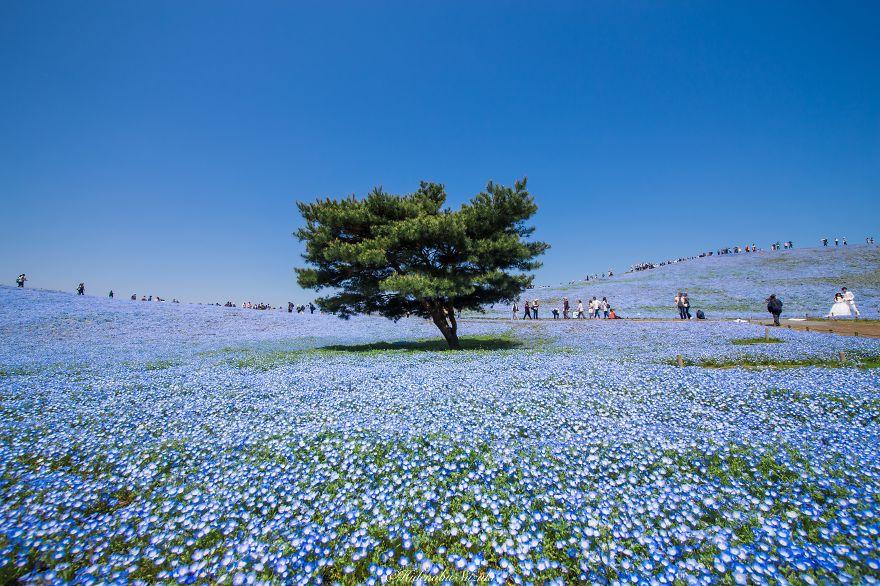 nemophila-blu-hitachi-seaside-park-giappone-shibazakura-hidenobu-suzuki-7